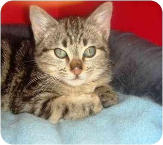 Domestic Mediumhair Kitten for adoption in El Cajon, California - little lover