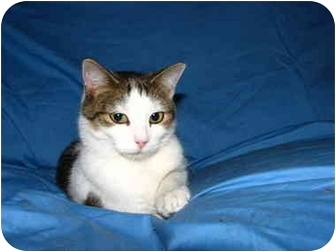 Domestic Shorthair Cat for adoption in Norwich, New York - Chelsea