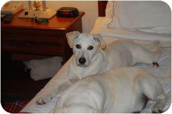 Labrador Retriever Puppy for adoption in Hainesville, Illinois - Gallioth
