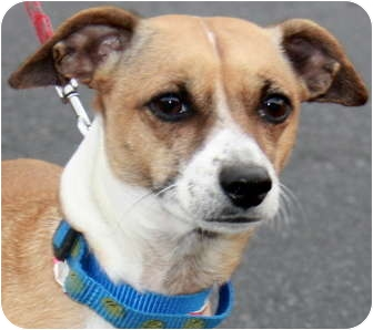 Chihuahua/Jack Russell Terrier Mix Dog for adoption in Atlanta, Georgia - Zach