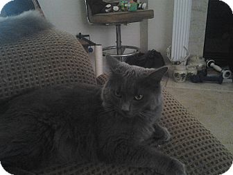 Domestic Longhair Cat for adoption in Winder, Georgia - *Cheshire