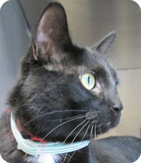 Domestic Shorthair Cat for adoption in South Haven, Michigan - Hannibal