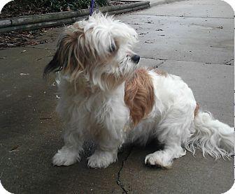 Havanese Mix Dog for adoption in Alexandria, Virginia - Kobuk
