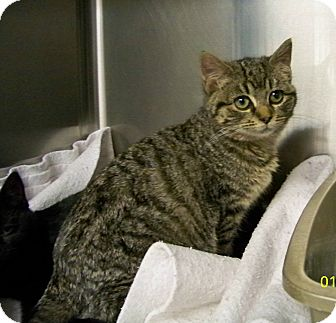 Domestic Shorthair Cat for adoption in Dover, Ohio - Buttercup