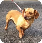 Dachshund Mix Dog for adoption in Beacon, New York - Danbury ($300 adoption fee)