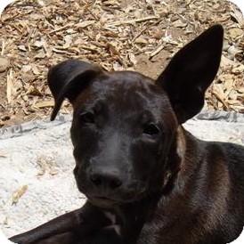 German Shepherd Dog/Labrador Retriever Mix Puppy for adoption in Sacramento, California - Avon