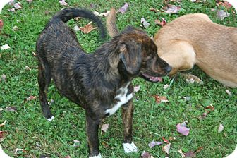 Labrador Retriever/Plott Hound Mix Dog for adoption in Morgantown, West Virginia - Kerry