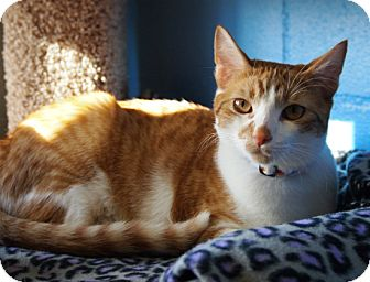 Domestic Shorthair Kitten for adoption in Coronado, California - Pollyanna