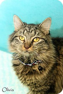 Maine Coon Cat for adoption in Covington, Kentucky - Olivia