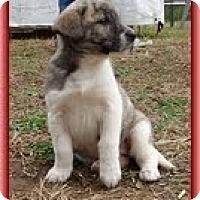 Adopt A Pet :: Lara - Staunton, VA