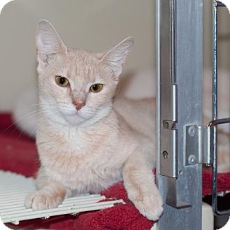 Domestic Shorthair Kitten for adoption in New Martinsville, West Virginia - Tanya