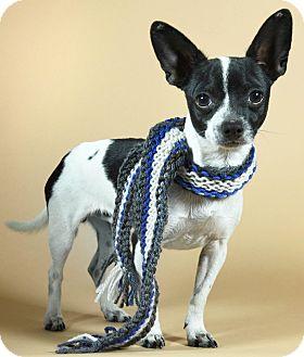 Chihuahua Mix Dog for adoption in Port Washington, New York - Lassiter