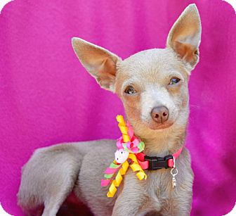 Chihuahua Mix Dog for adoption in Irvine, California - Bunny