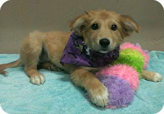 Golden Retriever Mix Puppy for adoption in Apache Junction, Arizona - Posie