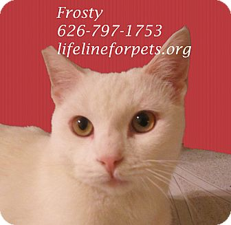 Domestic Shorthair Cat for adoption in Monrovia, California - Fabulous FROSTY