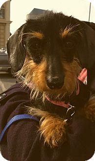 Dachshund Dog for adoption in Decatur, Georgia - Skylar