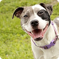 Adopt A Pet :: Lady - Reisterstown, MD