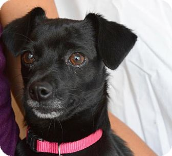 Chihuahua/Terrier (Unknown Type, Medium) Mix Dog for adoption in Chico, California - VIOLET