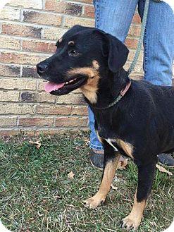 Rottweiler/Hound (Unknown Type) Mix Dog for adoption in Rexford, New York - Jojo
