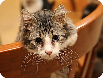 Domestic Shorthair Kitten for adoption in Newtown, Connecticut - Blue