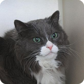 Domestic Longhair Cat for adoption in Canyon Country, California - Boz