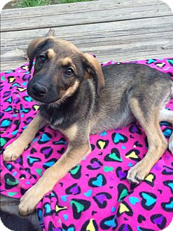 Shepherd (Unknown Type) Mix Puppy for adoption in Harrisburg, Pennsylvania - Sahara