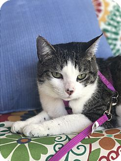 Domestic Shorthair Cat for adoption in Spring, Texas - Sophie