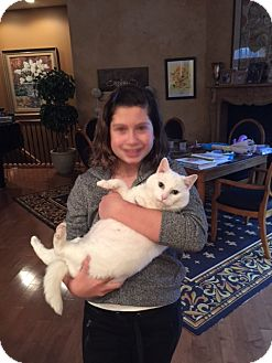 Domestic Mediumhair Cat for adoption in Beachwood, Ohio - Snowy