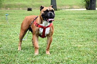 Boxer/English Bulldog Mix Dog for adoption in Salem, New Hampshire - BELLA MIA
