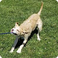 Adopt A Pet :: Baloo - Cameron, MO