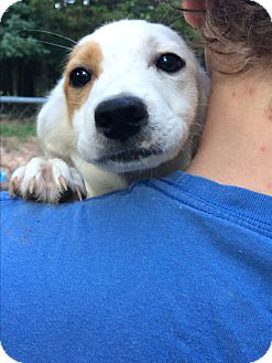 Jack Russell Terrier/Australian Shepherd Mix Puppy for adoption in Kittery, Maine - Luke