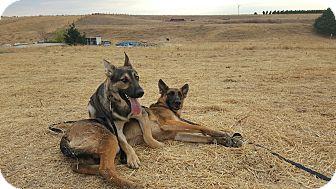 German Shepherd Dog Mix Dog for adoption in Martinez, California - Sebastian