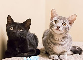Domestic Shorthair Kitten for adoption in Chicago, Illinois - Jude and Lori
