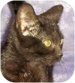 Domestic Shorthair Kitten for adoption in Murphysboro, Illinois - Salem