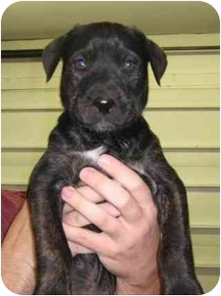 Presa Canario/German Shepherd Dog Mix Puppy for adoption in Danville, Kentucky - Guiness