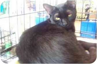 Domestic Shorthair Cat for adoption in Easley, South Carolina - Licorice