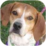 Hound (Unknown Type) Mix Dog for adoption in Eatontown, New Jersey - Bradford