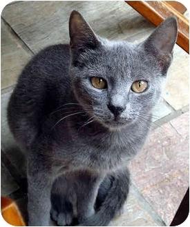 Russian Blue Cat for adoption in Las Vegas, Nevada - TATER-TOT