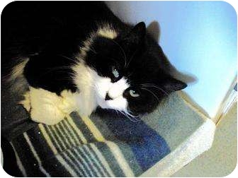 Domestic Longhair Cat for adoption in West Warwick, Rhode Island - Bo-peep