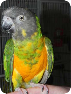 Poicephalus (including Senegal and Meyer's) for adoption in St. Louis, Missouri - Richard