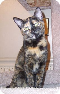 Domestic Shorthair Cat for adoption in Gray, Tennessee - Paisley