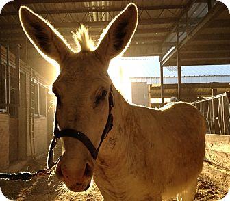 Donkey/Mule/Burro/Hinny Mix for adoption in Sac, California - Jack