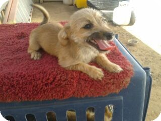 Terrier (Unknown Type, Small) Mix Puppy for adoption in Chandler, Arizona - Sophie