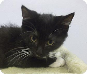 Domestic Mediumhair Kitten for adoption in Wheaton, Illinois - Orlando