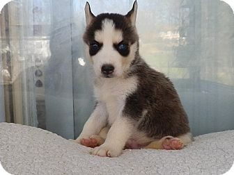 Siberian Husky Puppy for adoption in Zanesville, Ohio - Mavrick