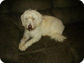 Wheaten Terrier Mix Dog for adoption in Sheridan, Oregon - Ginger