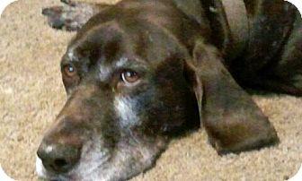 German Shorthaired Pointer Mix Dog for adoption in Cedar Rapids, Iowa - Sean