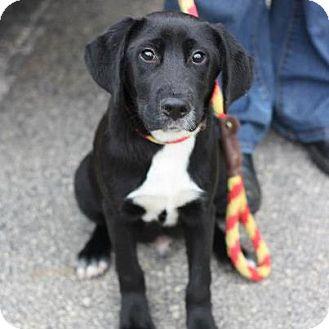 Labrador Retriever Mix Dog for adoption in Cumming, Georgia - Kiro