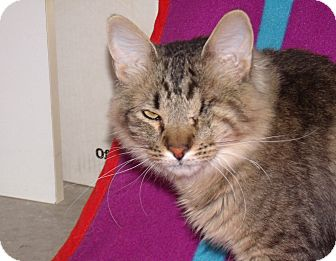 Domestic Longhair Cat for adoption in Scottsdale, Arizona - Pirate - wonderful cat!!