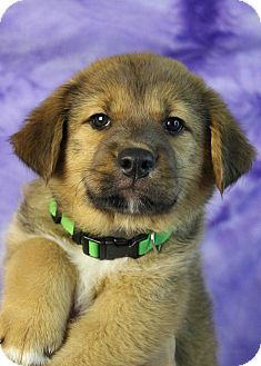 Australian Cattle Dog/Shepherd (Unknown Type) Mix Puppy for adoption in Westminster, Colorado - Hera